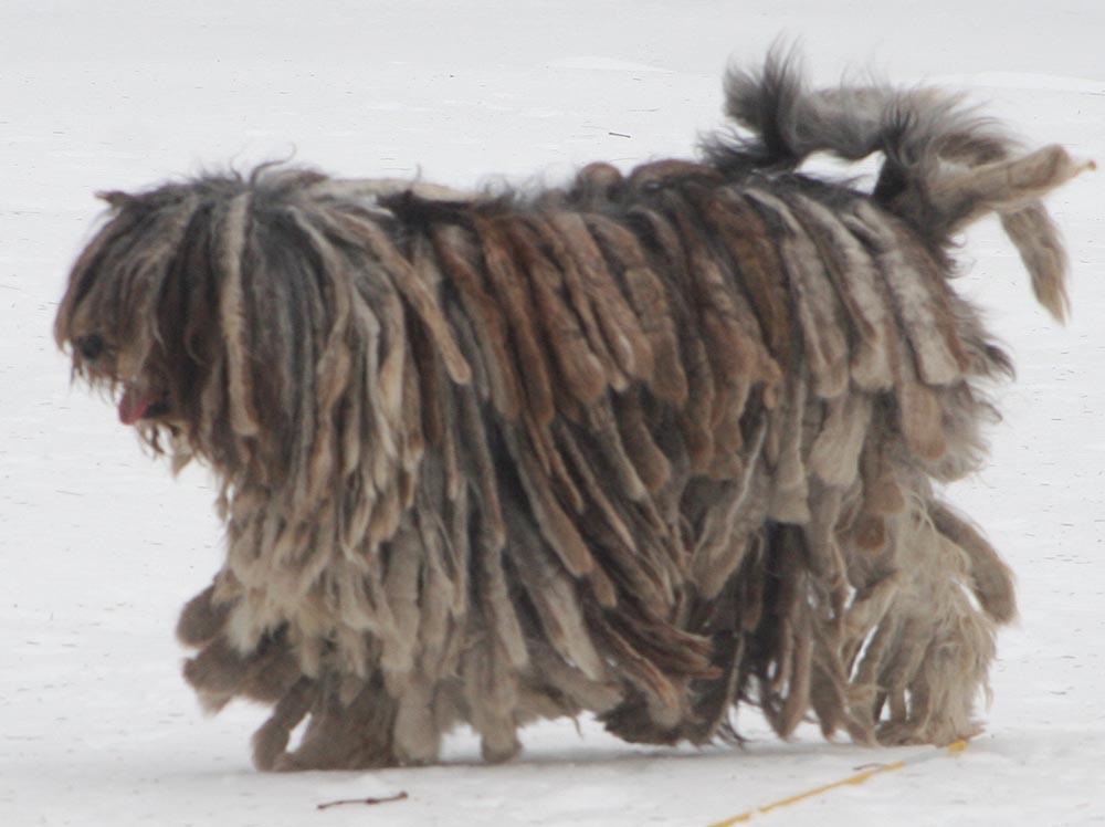 Bergamasco_shepherd_dog_-_merle_female_cropped