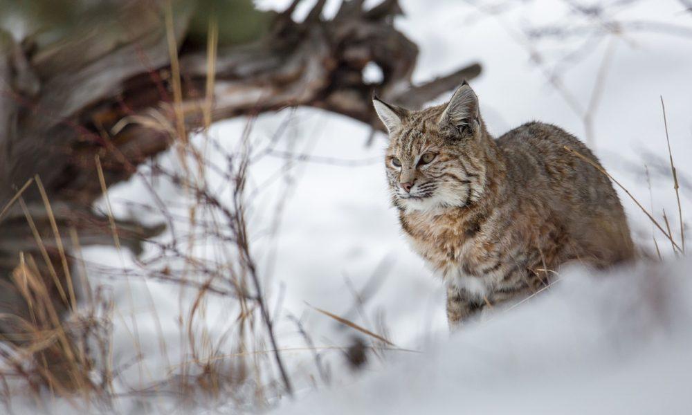 bobcat-1233569_1280