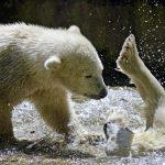 Znečistenie Arktídy je obrovské. Najviac si to však odnesú mláďata medveďa bieleho