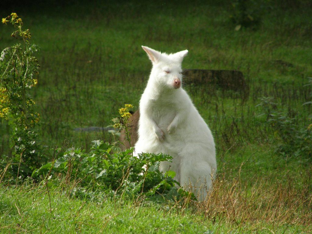albino-325995_1280