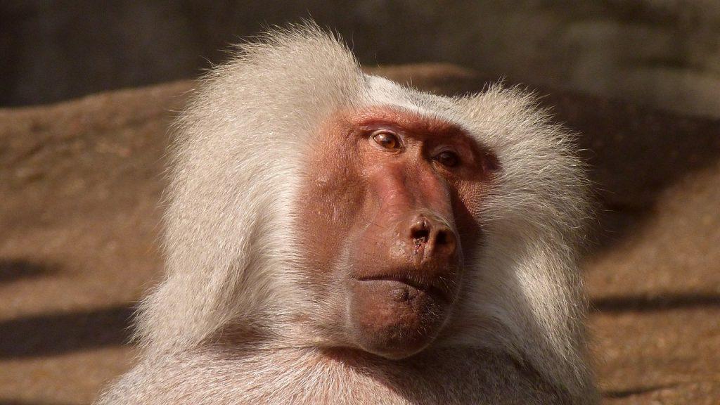 baboon-174073_1280