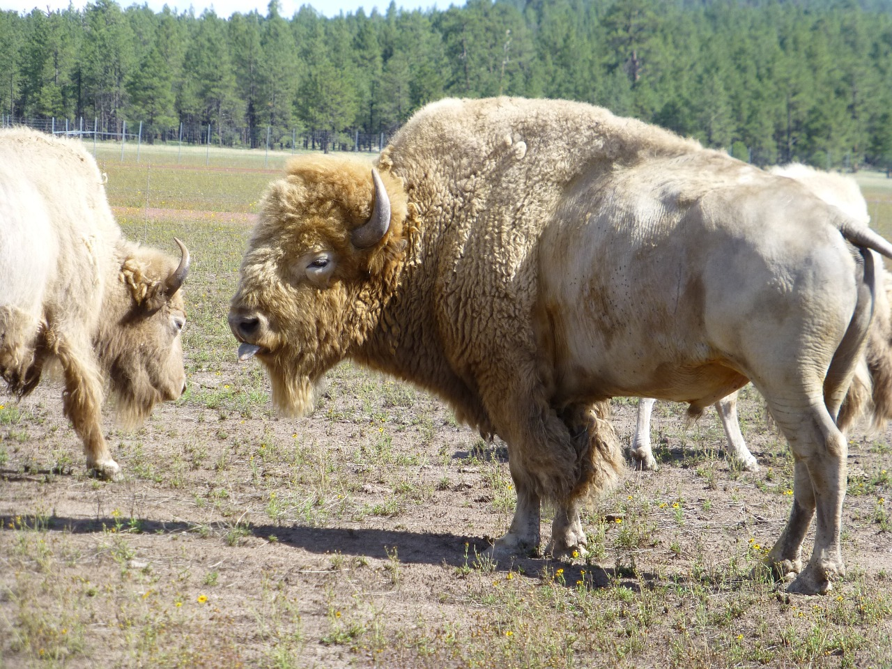 buffalo-1150445_1280
