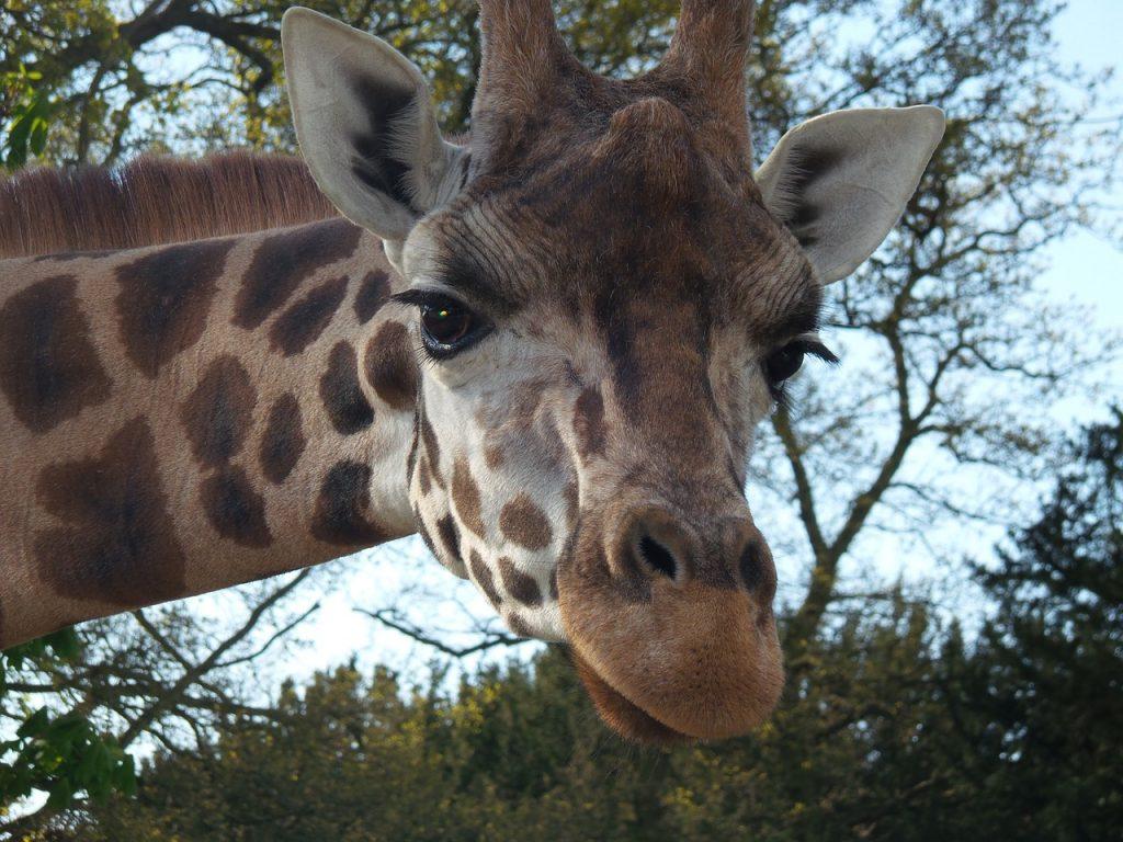 giraffe-791905_1280