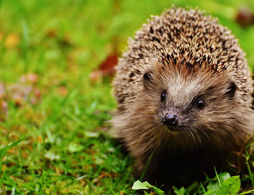 hedgehog-child-1759505_1280