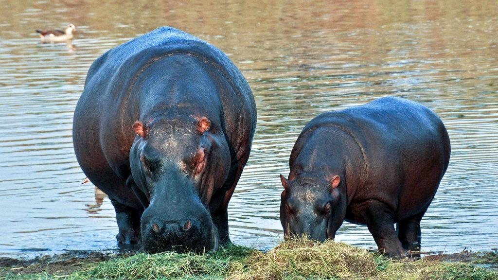 hippopotamus-1170205_1280