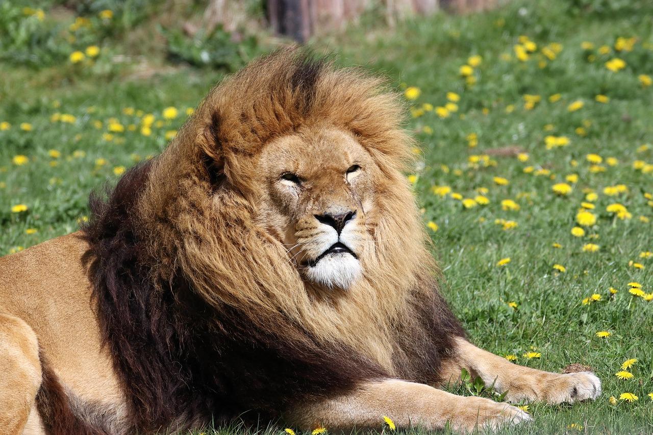 lion-2242364_1280