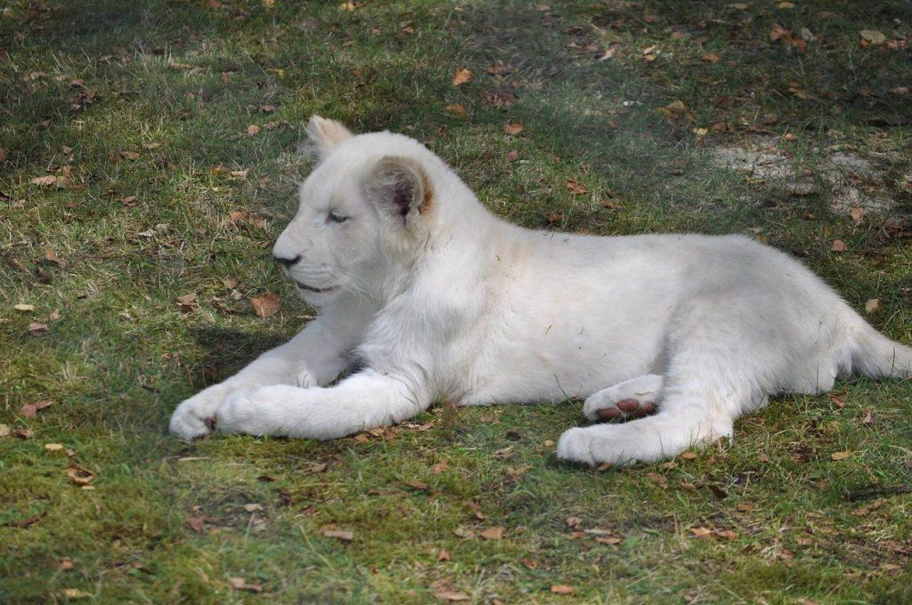 lion-984633_1280