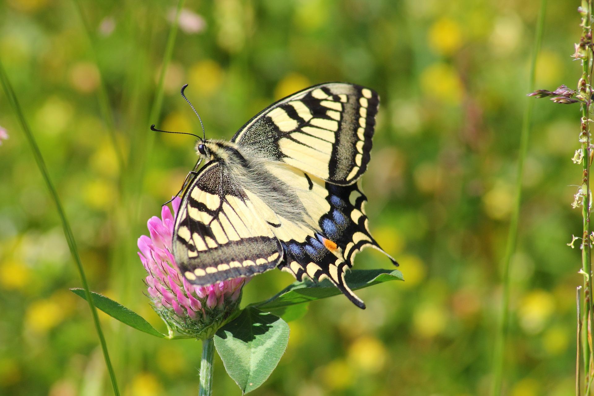 swallowtail-butterfly-364329_1920