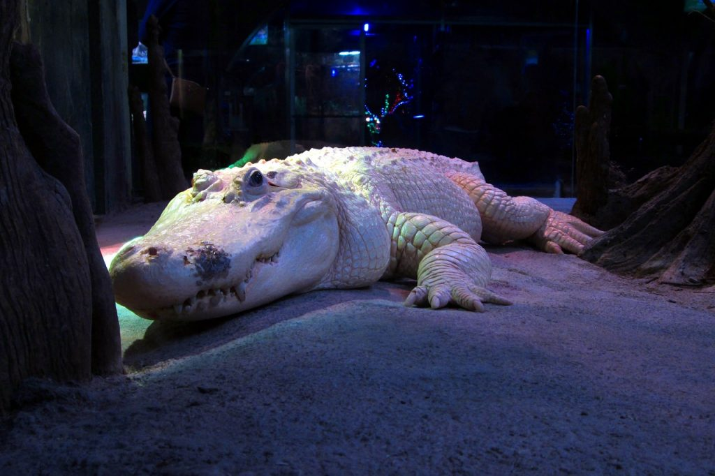 white-alligator-326071_1280