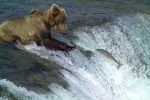 Medveď sa len tak-tak dostal z rozzúrenej rieky