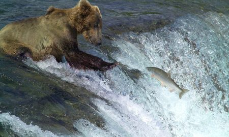 kodiak-brown-bear-2042153_1280