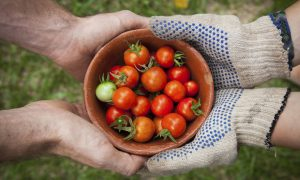 Životný cyklus paradajky