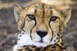 Gepard ako domáci miláčik? Prečo nie