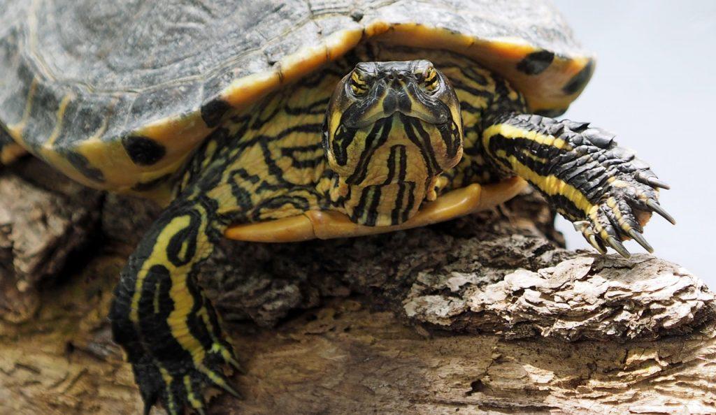 exotic-turtle-head-stripes-portrait-158564
