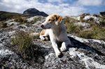 Zoznám sa s Ginger, ustrašeným strážnym psom zo Zambie, ktorý precestoval svet