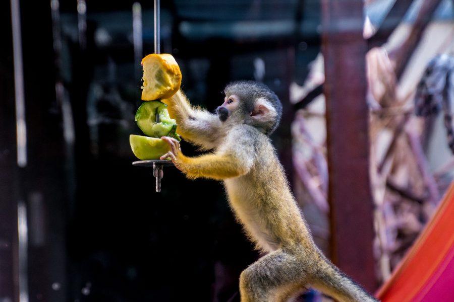 squirrel-monkey-1689394_1920