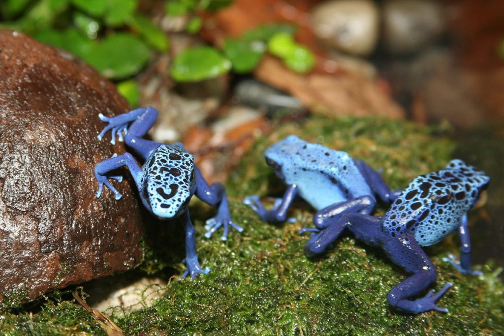 By Cliff - originally posted to Flickr as Poison Dart Frog (Dendrobates azureu), CC BY 2.0, Link