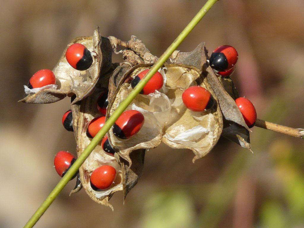 """Abrus seed""(CC BY-SA 2.0)bydinesh_valke"