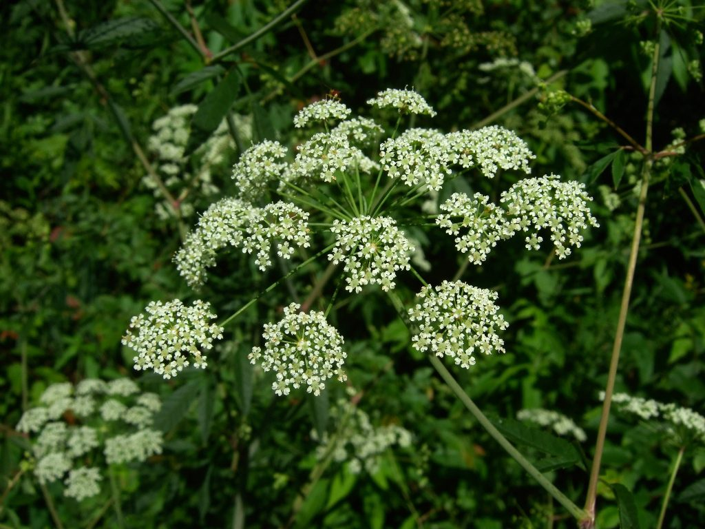 """Water Hemlock flowers"" (CC BY 2.0) by Wendell Smith"