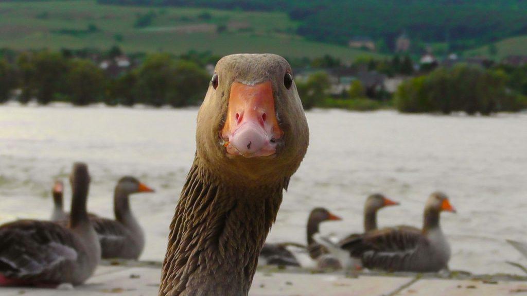 goose-water-bird-nature-bird-66863