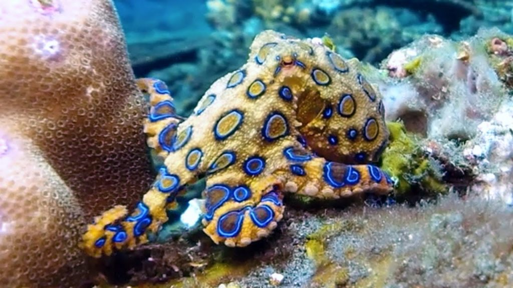 octopusues