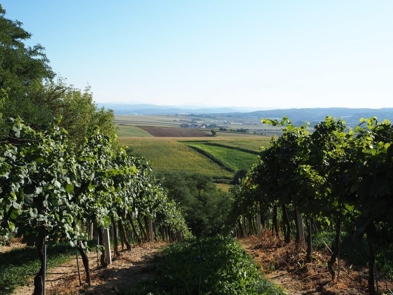 vineyard-2698412_1920