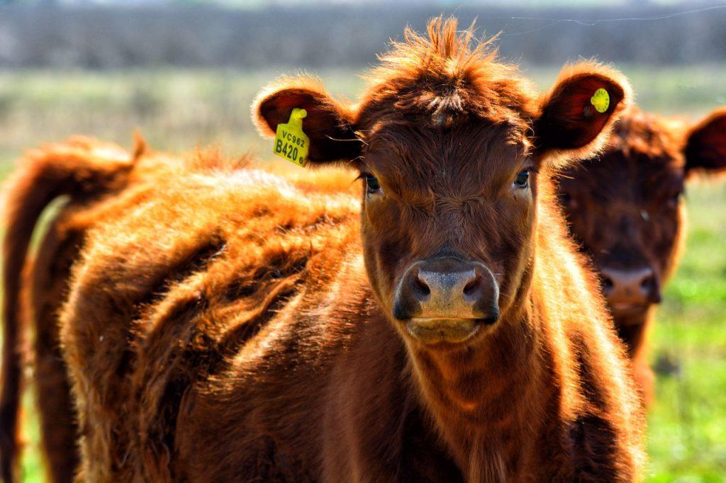 cow-1772156_1280