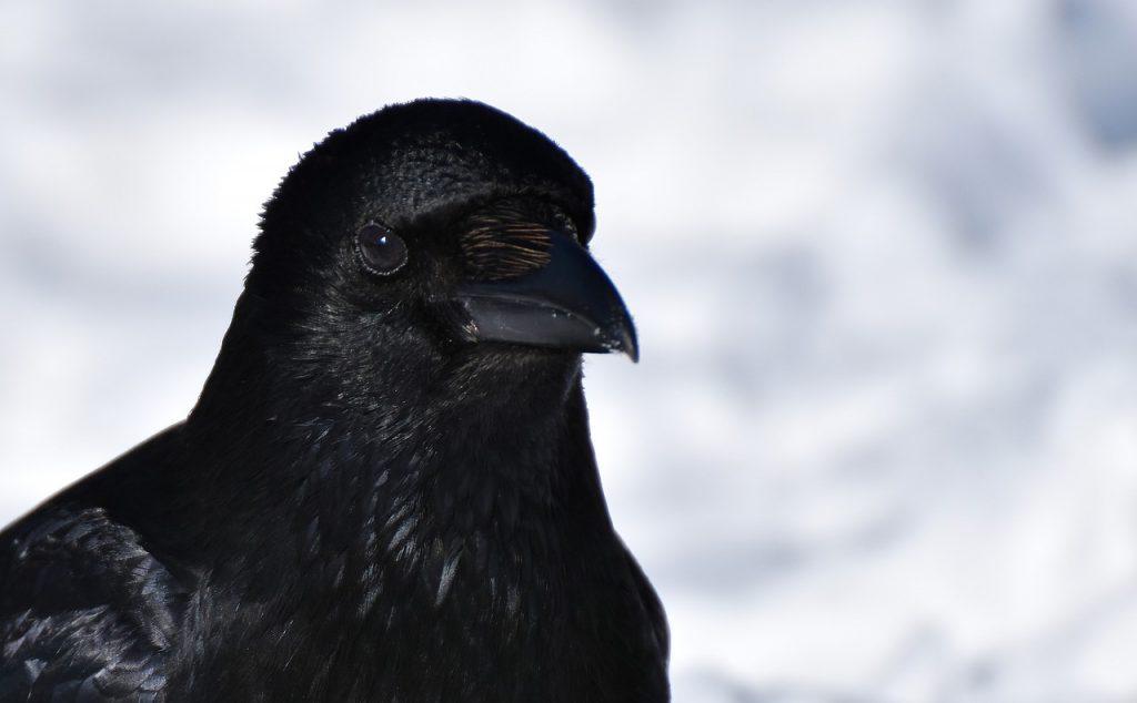 crow-3190552_1280