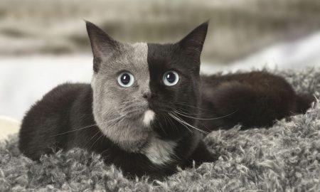 najkrajšia mačka