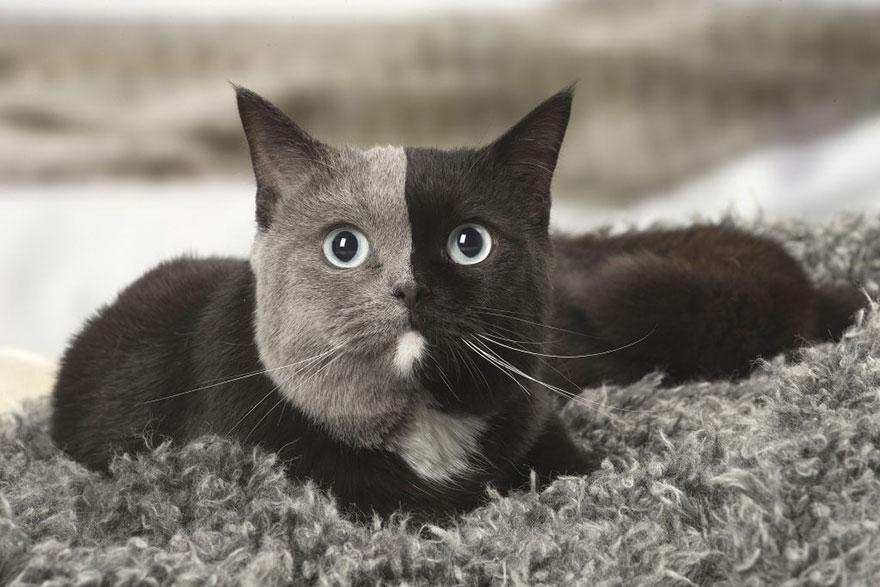 Z mačiatka s dvoma tvárami sa stala zrejme najkrajšia mačka na planéte 74894d04820