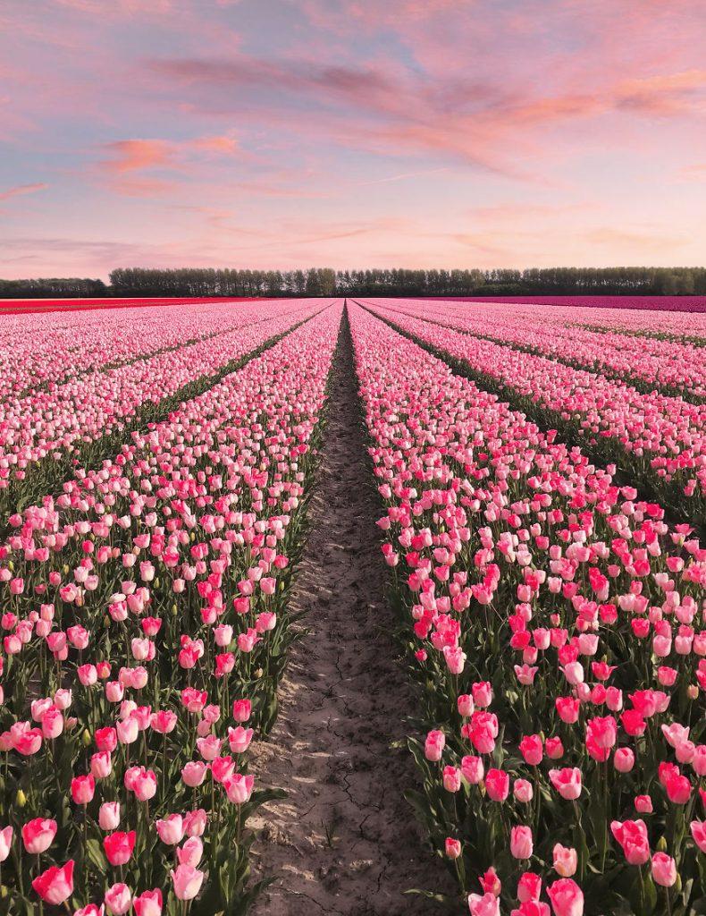 holandsko_tulip_1