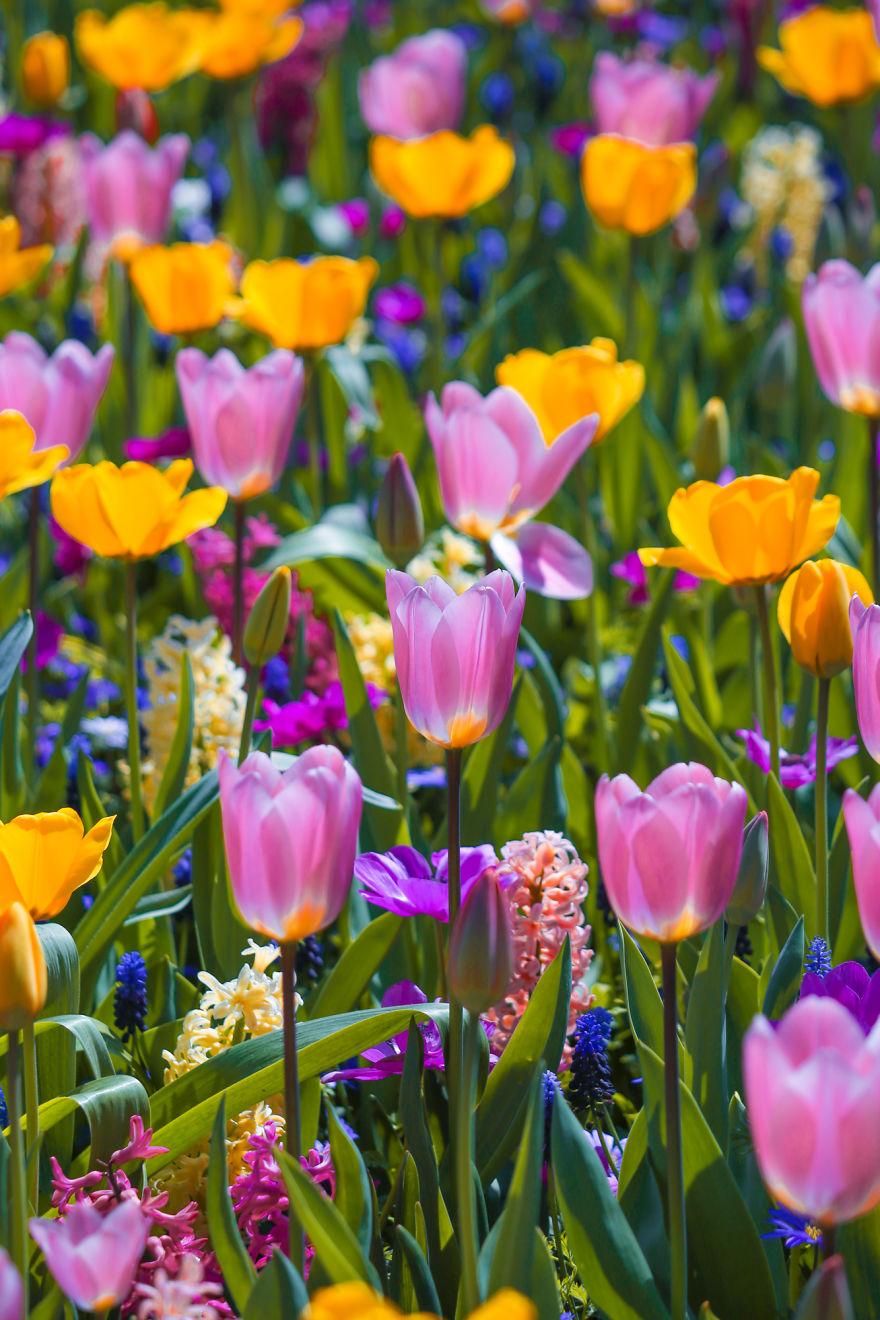 holandsko_tulip_10