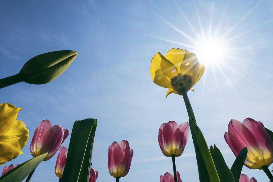 holandsko_tulip_11