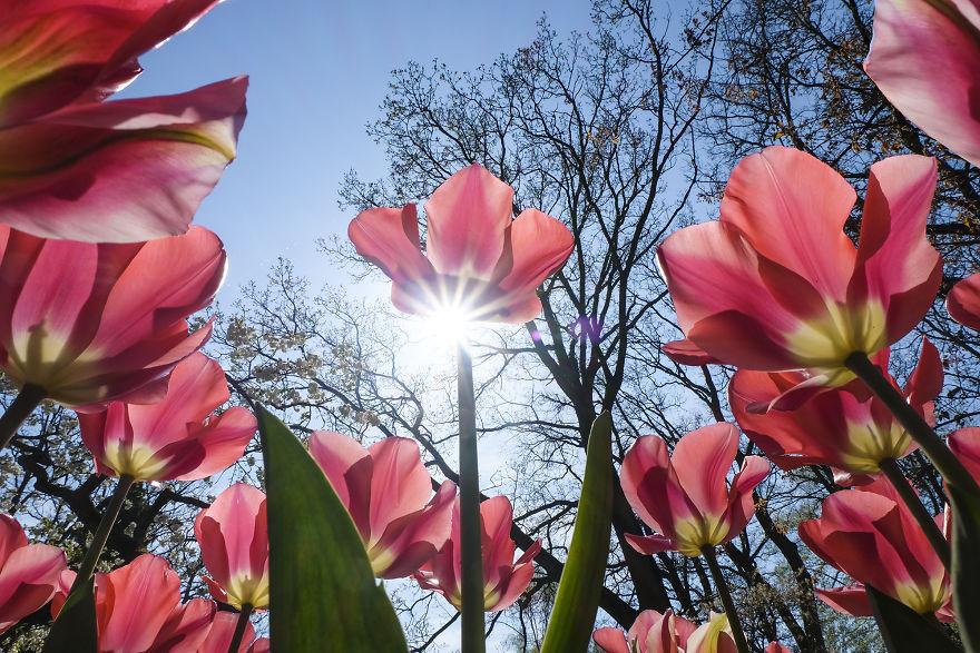 holandsko_tulip_13