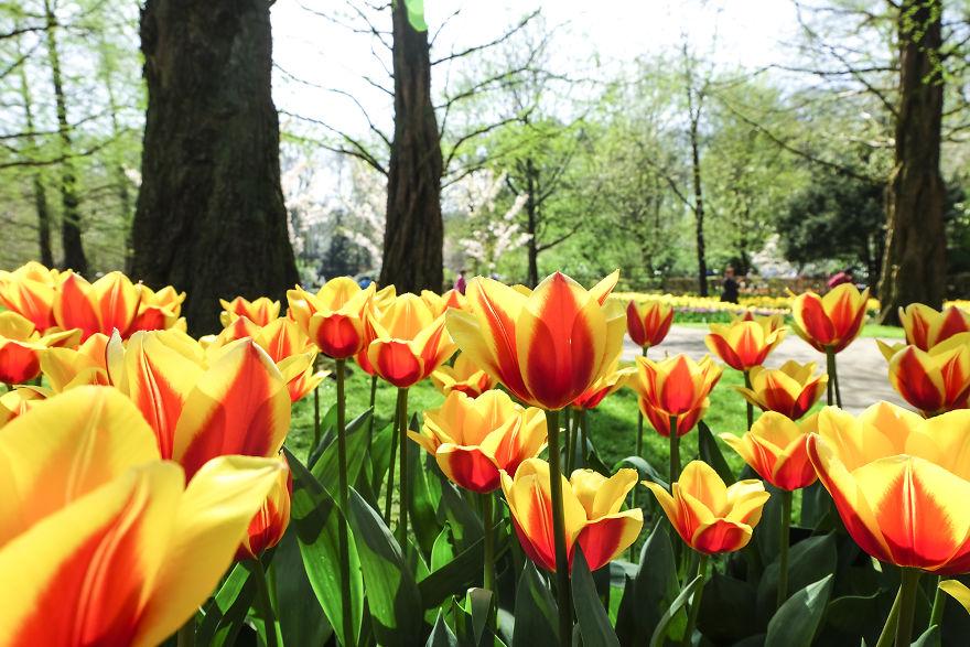 holandsko_tulip_15