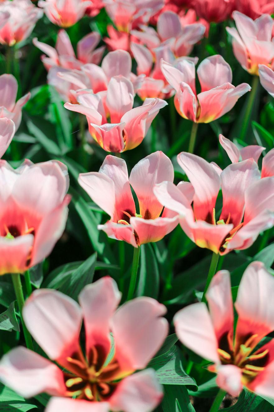holandsko_tulip_7
