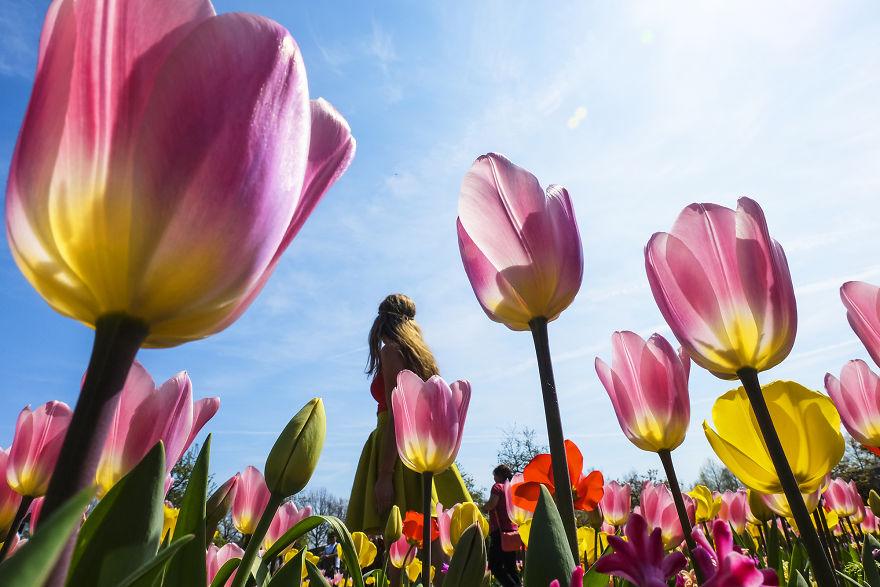 holandsko_tulip_8