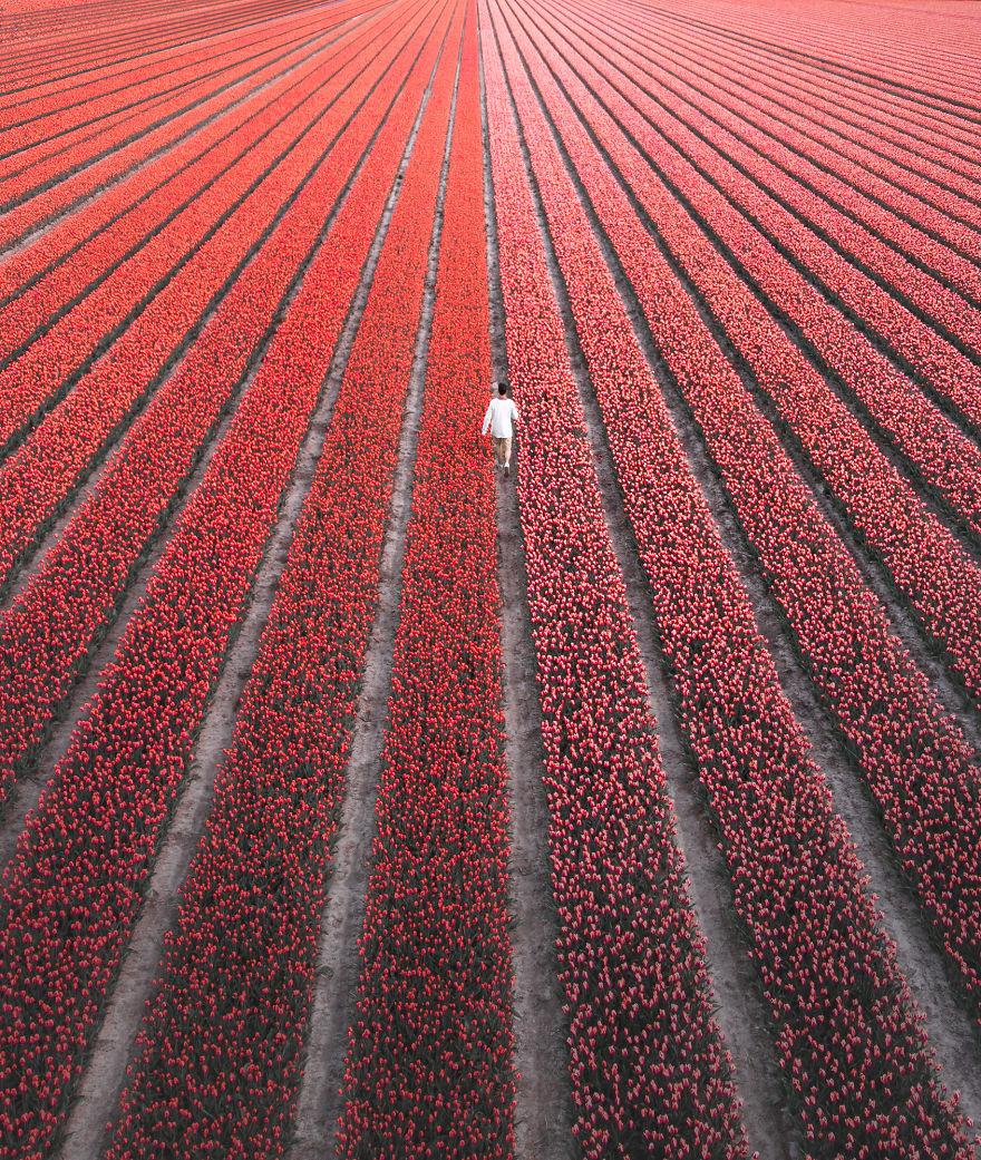 holandsko_tulip_9