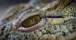 Krokodíl prehltol GoPro kameru. Ako to vyzerá v jeho útrobách?