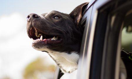 psík v aute