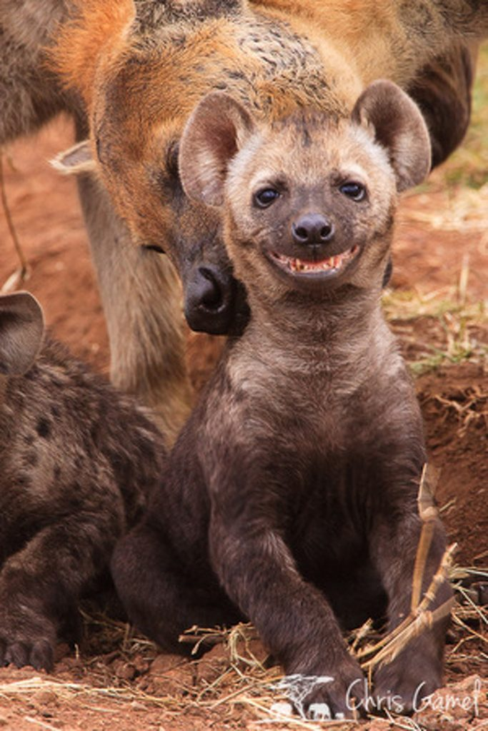 Spotted hyaena cub smiling at adult picks it up by scruff of the neck.