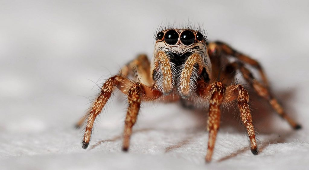 spider-macro-zebra-spider-insect-40795