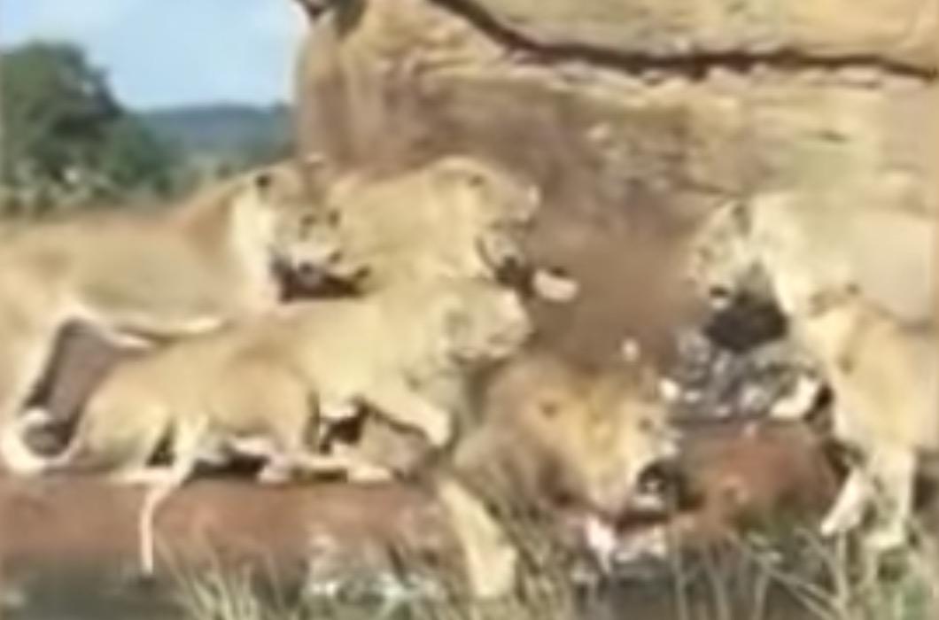 Na leva zaútočili nahnevané levice. Zachrániť ho museli návštevníci Safari