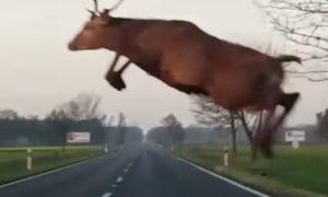Vodič mal obrovské šťastie! Jeleň mu preletel ponad auto