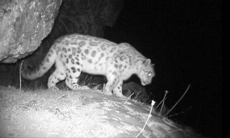 V Číne sa podarilo natočiť vzácne zviera: snežného leoparda