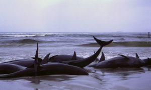 Záhadné samovraždy veľrýb sú konečne objasnené. Na vine je armáda