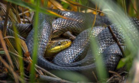 Najdlhší had na Slovensku žije pod Zoborom. Je však nebezpečný?
