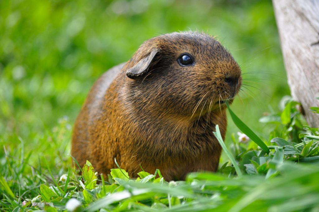 guinea-pig-animal-rodent-smooth-hair-47323