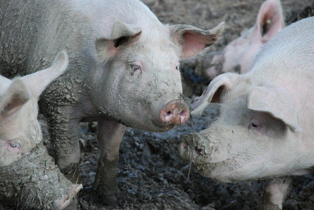 pigs-480250_1280