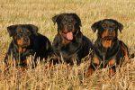 TOP10: Najdrahšie psy. Ktoré plemeno stojí najviac?